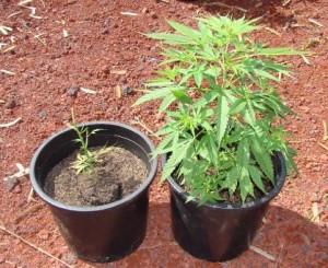 piantine-marijuana-canapa-indiana
